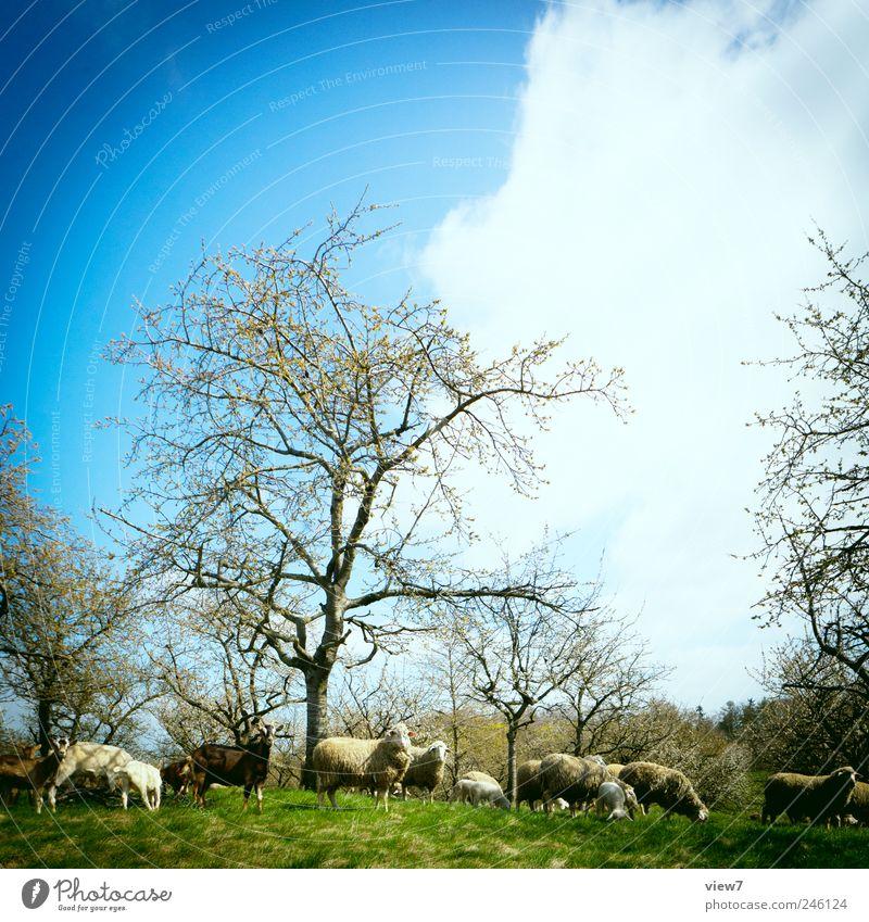 das gemeine Sommerschaf Umwelt Natur Landschaft Himmel Klima Pflanze Baum Tier Nutztier Tiergruppe Herde beobachten machen authentisch blau Zufriedenheit Farbe
