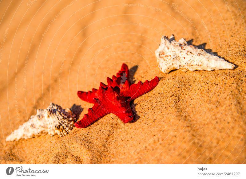 Sandstrand mit Seestern und Schnecken Ferien & Urlaub & Reisen Sommer Strand Tourismus rot Schneckenhaus Sommerferien Sommerurlaub Tiere Schalen maritim Meer