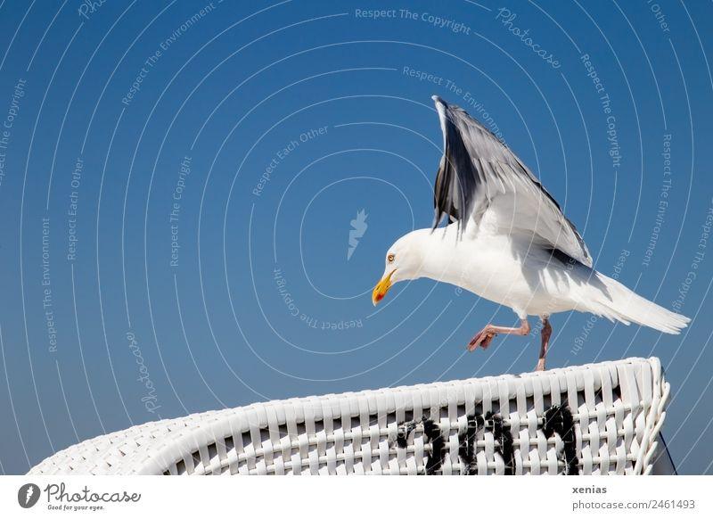 Startbahn frei Himmel blau weiß Tier Strand schwarz Vogel Wildtier laufen Wolkenloser Himmel Möwe Strandkorb anlauf nehmen Silbermöwe
