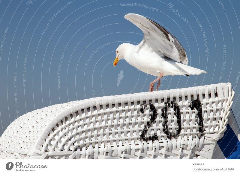 Landeplatz 201 Himmel Wolkenloser Himmel Küste Strand Tier Wildtier Vogel Möwe Silbermöwe fliegen laufen blau schwarz weiß Landen Strandkorb Farbfoto