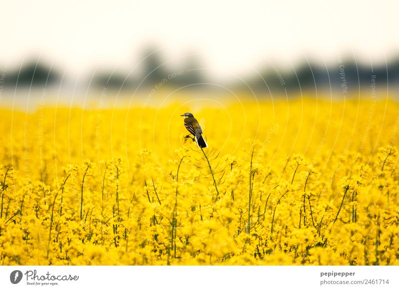 Rapsfeld Natur Pflanze Landschaft Tier gelb Frühling Vogel Feld Wildtier beobachten