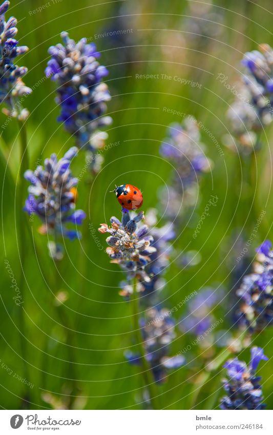 sommer in der normandie Natur Pflanze Sommer Blume Blatt Tier Wiese Blüte Gras natürlich Duft Käfer Schönes Wetter