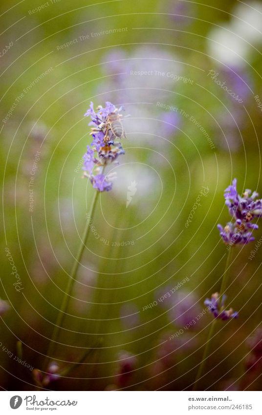 sommer in der schweiz Blume Gras fliegen Biene Wespen Lavendel Farbfoto