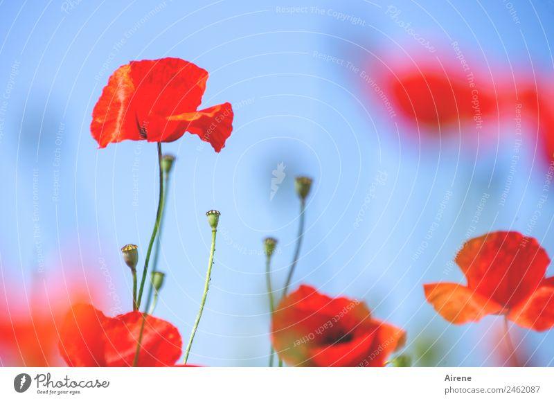 mohnsüchtig I blau Pflanze schön Blume rot leuchten Blühend Wolkenloser Himmel Mohn Klatschmohn