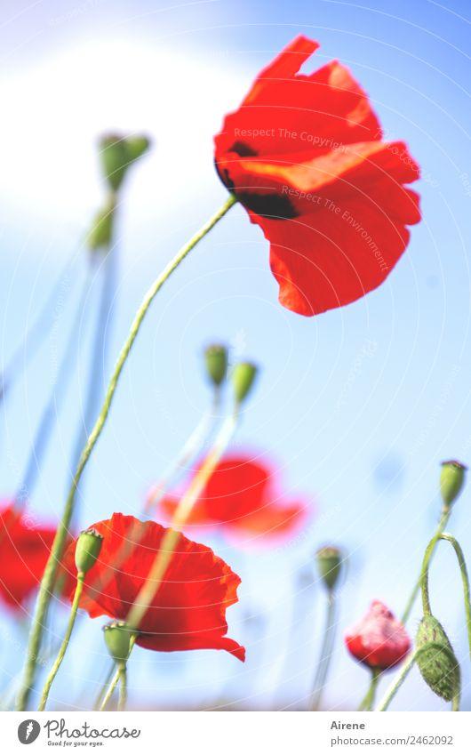 mohnsüchtig II Pflanze Himmel Blume Mohnblüte Klatschmohn Blühend leuchten träumen schön blau rot Glück Euphorie Sucht Außenaufnahme Menschenleer