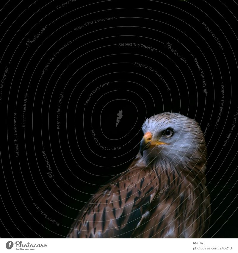 Milan Tier Vogel Roter Milan 1 Blick ästhetisch dunkel nah natürlich ruhig Greifvogel Würde Stolz Schnabel gefiedert Farbfoto Menschenleer Textfreiraum links