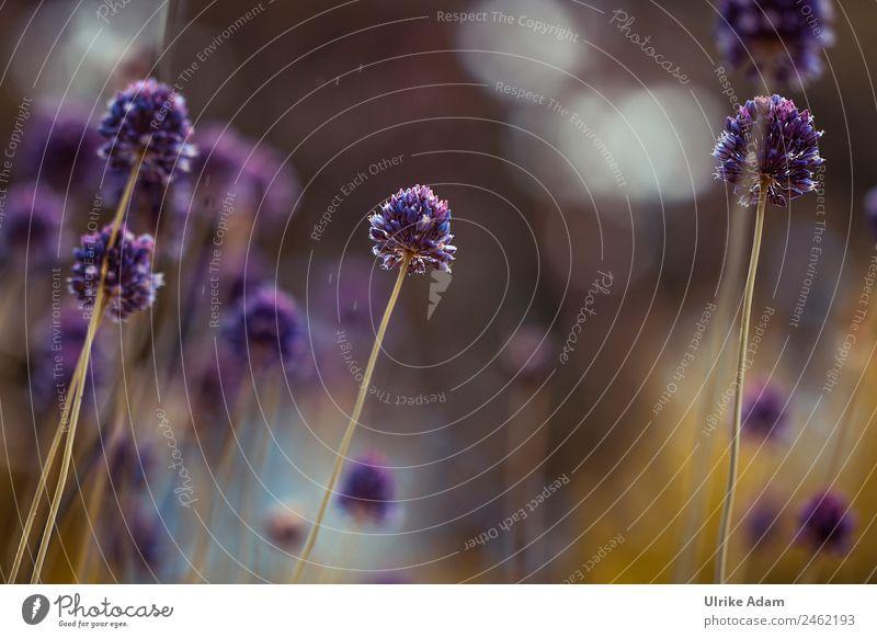 Runder Lauch ( Allium rotundum) Natur Sommer Pflanze schön Blume Erholung ruhig Wärme Leben Blüte natürlich Garten Design Zufriedenheit Park Blühend