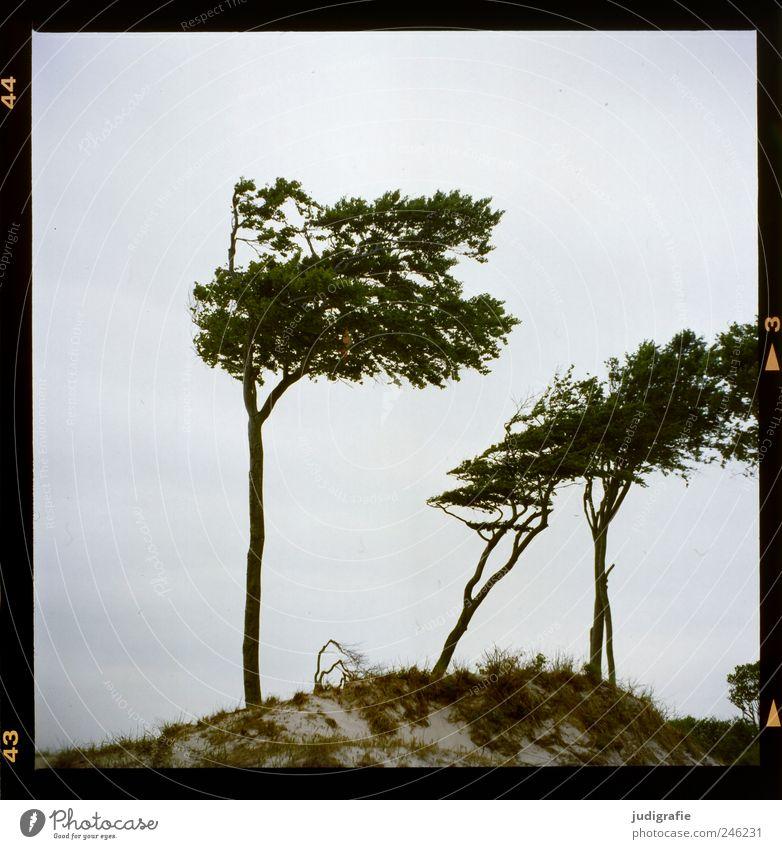 Weststrand Umwelt Natur Landschaft Pflanze Sand Baum Gras Küste Ostsee Stranddüne Darß natürlich wild Windflüchter Farbfoto Gedeckte Farben Außenaufnahme