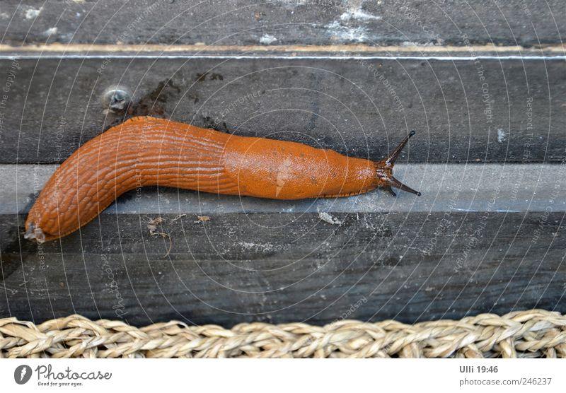 Nacktschnecke auf dem Weg zum FKK–Strand. Sommer Tier Schnecke 1 Holz nass schleimig braun Trägheit Gelassenheit Kraft ruhig Zeit Langsamkeit Nudist Farbfoto