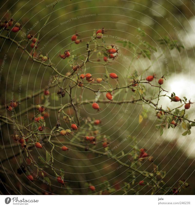 hiven Umwelt Natur Pflanze Sträucher Grünpflanze Nutzpflanze Wildpflanze Hagebutten natürlich braun grün rot Fruchtstand Farbfoto Außenaufnahme Menschenleer Tag