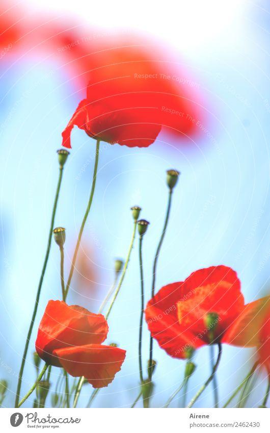 mohnsüchtig III Himmel blau Pflanze schön Blume rot Glück leuchten träumen ästhetisch Blühend Mohn Euphorie Sucht Klatschmohn