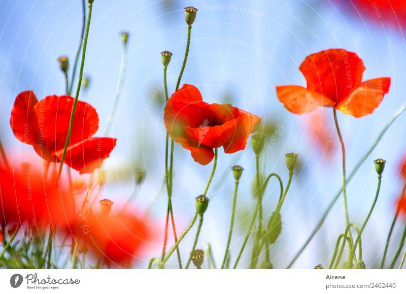 mohnsüchtig IV Pflanze Blume Mohnblüte Klatschmohn Blühend leuchten träumen Glück natürlich schön blau rot Euphorie Sucht Farbfoto Außenaufnahme Menschenleer