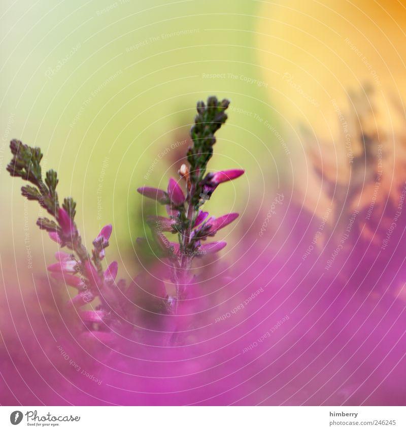 purple haze Natur schön Pflanze Sommer Blume Blatt Umwelt Landschaft Leben Wiese Gras Frühling Garten Blüte Stil Park
