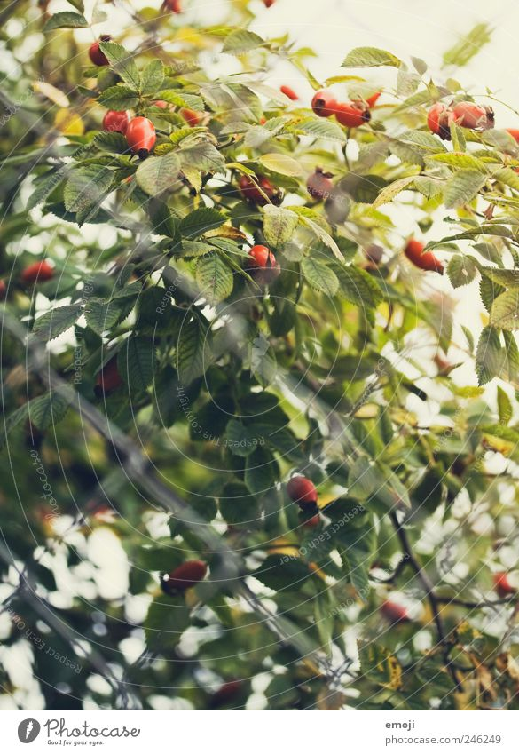 Hagebutten III Baum grün rot Pflanze natürlich Sträucher