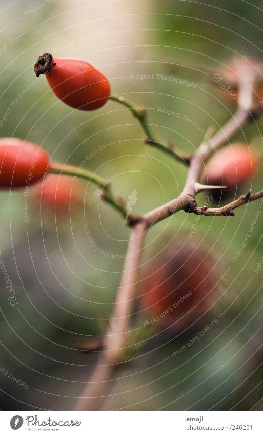 Hagebutten I Natur rot Pflanze Frucht Zweig Stachel Dorn Zweige u. Äste Hagebutten