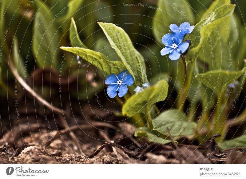 Vergiss mich nicht Natur blau grün schön Pflanze Sommer Blume Blatt Tier Gefühle Garten Blüte Frühling Park braun Zusammensein