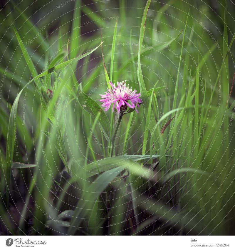 florence pink Umwelt Natur Pflanze Blume Gras Blatt Blüte Wildpflanze Wiese ästhetisch schön grün rosa Farbfoto Außenaufnahme Menschenleer Tag