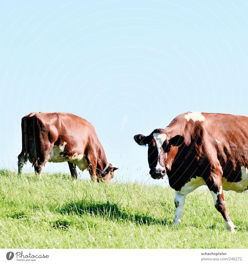 Kühe machen Mühe Himmel Natur weiß grün blau Tier Wiese Gras braun Landwirtschaft Kuh Weide Forstwirtschaft Nutztier Rind Viehzucht