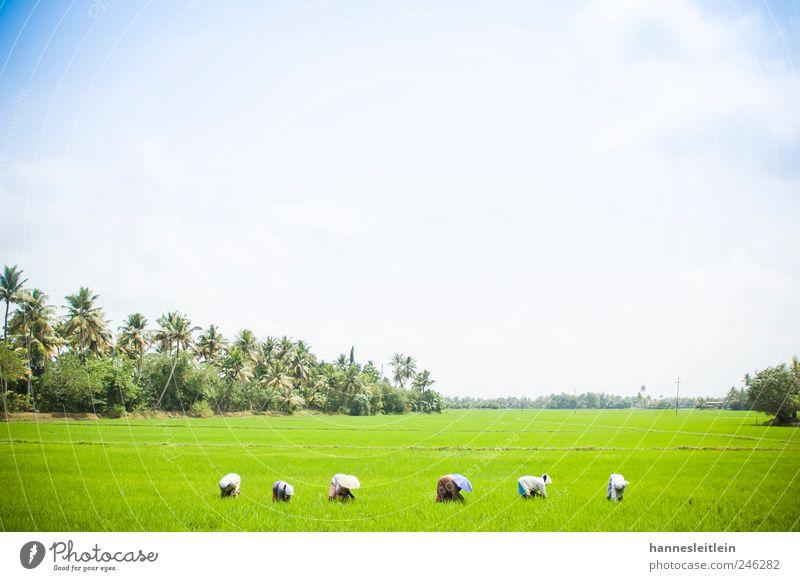 Reisfrauen Mensch Frau Himmel Landschaft Arbeit & Erwerbstätigkeit Feld Landwirtschaft Ernte Indien anstrengen Gartenarbeit Forstwirtschaft Ausdauer fleißig Reis bescheiden