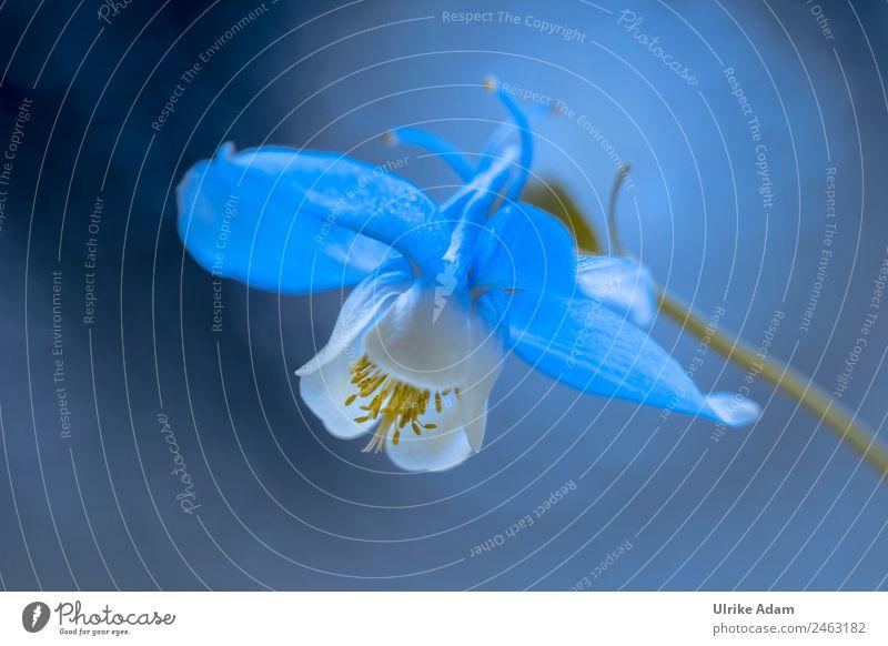 Die blau weiße Akelei Natur Sommer Pflanze schön Blume Erholung dunkel Frühling Blüte Garten Feste & Feiern Design Park leuchten Dekoration & Verzierung