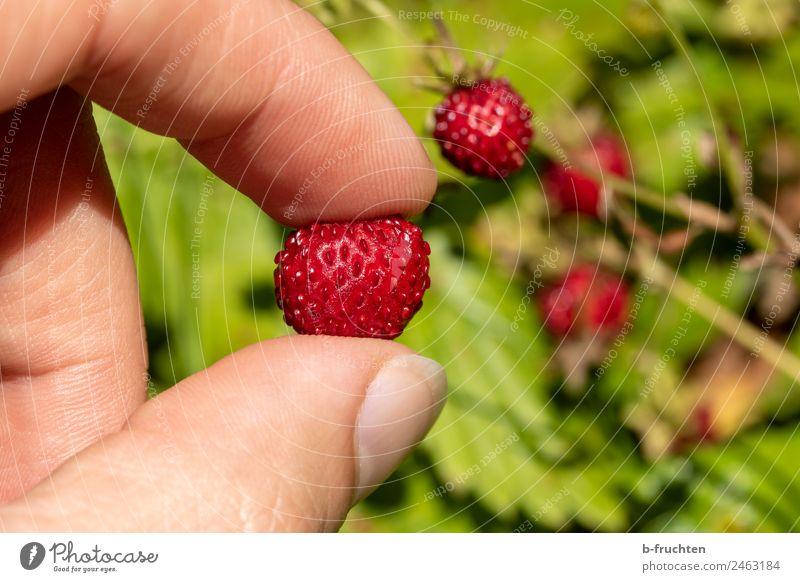 leckere Walderdbeeren Frucht Mann Erwachsene Hand Finger Garten wählen festhalten frisch Gesundheit genießen Wald-Erdbeere Süßwaren Farbfoto Außenaufnahme