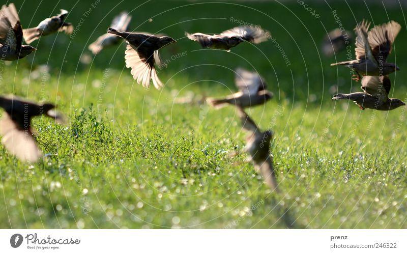spatzen im park Natur Landschaft Pflanze Tier Park Wiese Wildtier Vogel Flügel Tiergruppe Schwarm fliegen grau grün Spatz fliegend viele Gras grasgrün Graswiese