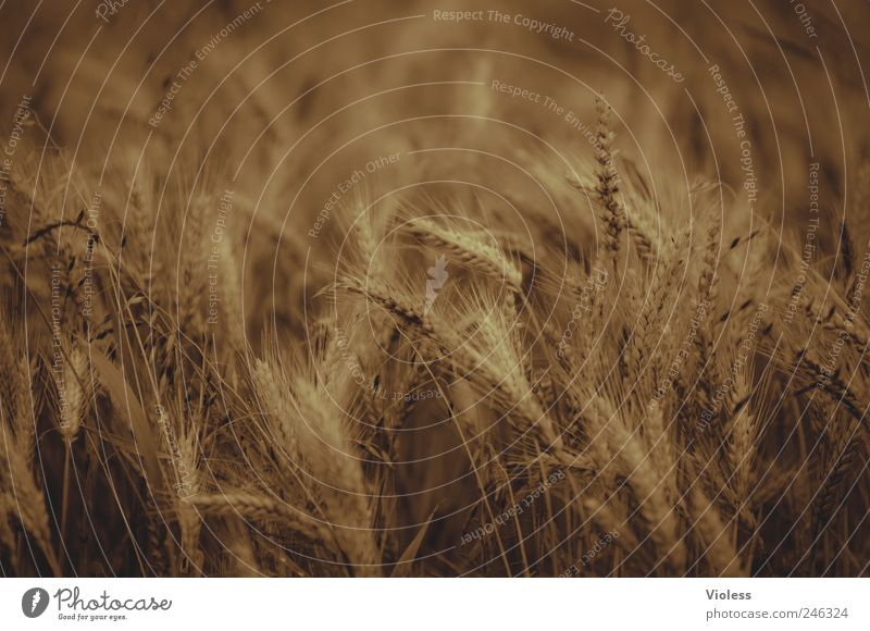 goldengrain Natur Pflanze Feld gold Ernte Weizen Nutzpflanze Weizenfeld