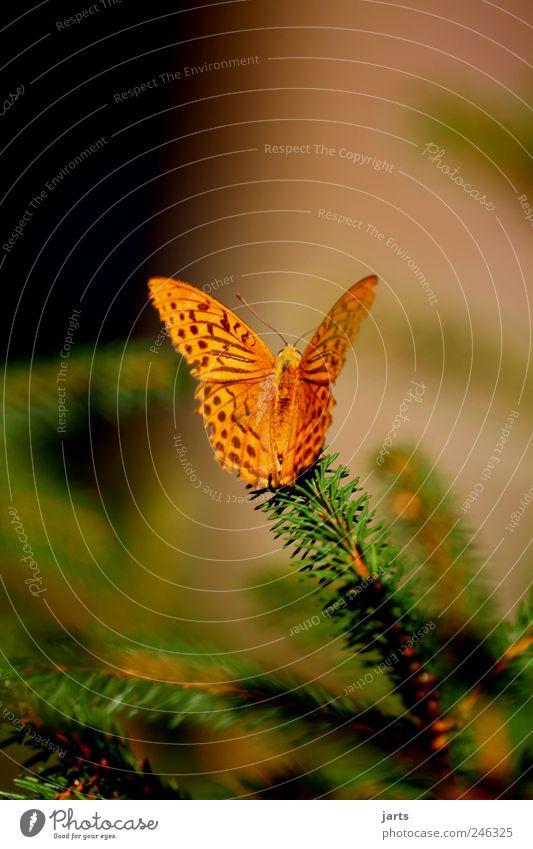 beautiful life Natur Pflanze Sommer Schönes Wetter Baum Tier Nutztier Schmetterling 1 schön Kaisermantel Farbfoto Außenaufnahme Nahaufnahme Menschenleer