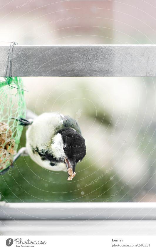 Meise in Not Auge Tier Fenster Vogel sitzen Tiergesicht Wildtier hängen Fressen Schnabel füttern hocken Krallen Tierliebe Vogelfutter Meisen