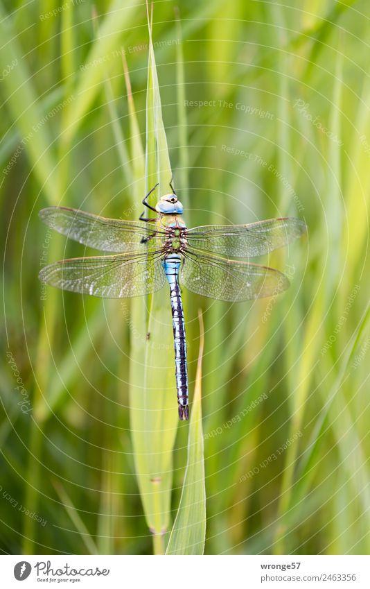 Biocopter III Natur blau Pflanze grün Tier natürlich Wildtier sitzen Seeufer nah Insekt Flussufer Schilfrohr Libelle ruhen Hochformat