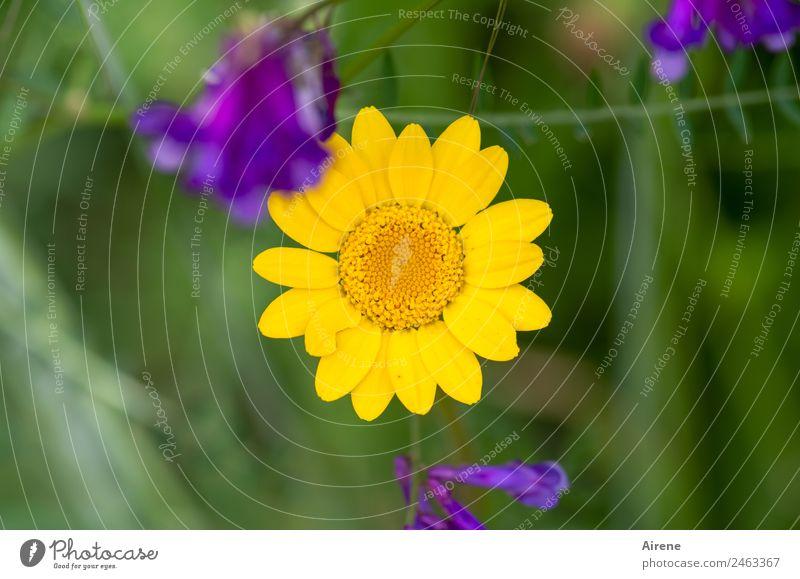 sonnengelbe Blume Pflanze Sommer Margerite Kamillenblüten Wiese Blumenwiese Blühend natürlich positiv grün violett Lebensfreude Symmetrie Mittelpunkt zentral