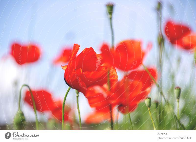 mohnsüchtig V Himmel blau Pflanze schön Blume rot natürlich hell leuchten träumen Lebensfreude Blühend Freundlichkeit Mohn Leichtigkeit Sucht