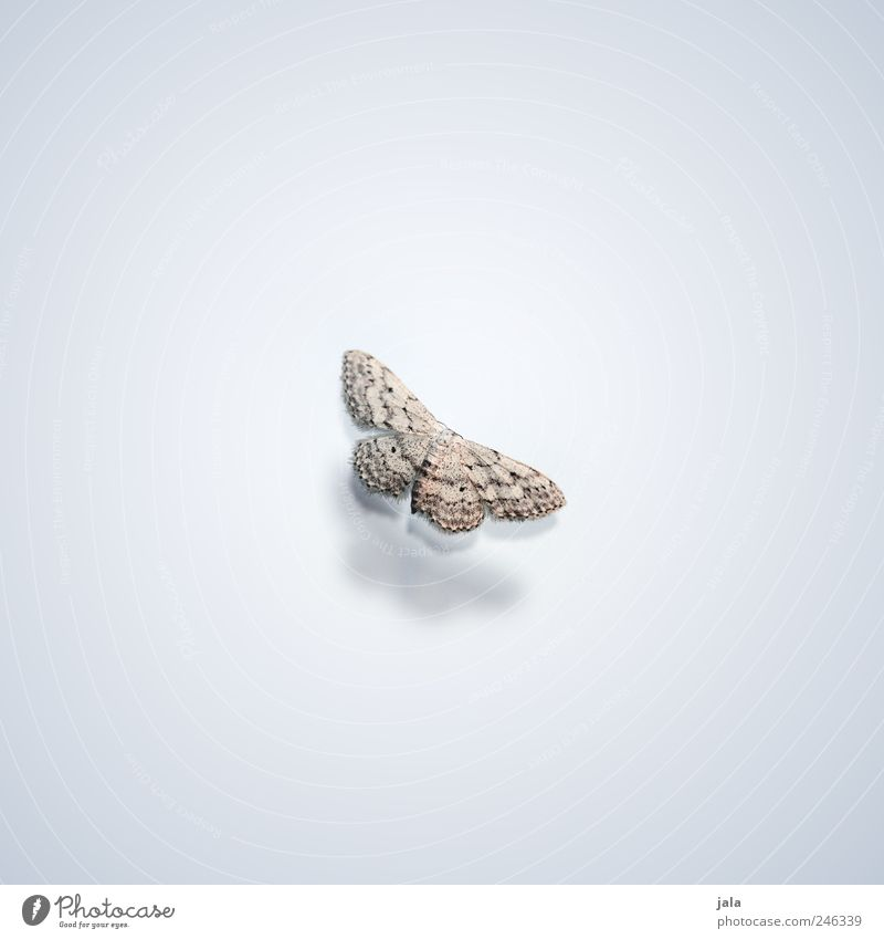 falter Tier Wildtier Flügel Schmetterling Insekt 1 ästhetisch elegant schön braun grau weiß Farbfoto Außenaufnahme Menschenleer Textfreiraum links