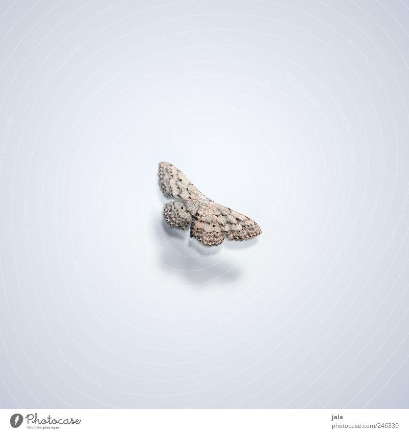 falter weiß schön Tier grau braun elegant ästhetisch Wildtier Flügel Insekt Schmetterling