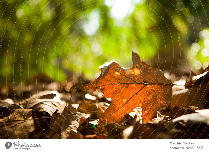 Herbst Umwelt Natur Pflanze Blatt ästhetisch exotisch braun gelb gold Herbstlaub herbstlich Wald Waldboden alt Vergänglichkeit Tod Gegenlicht Farbfoto