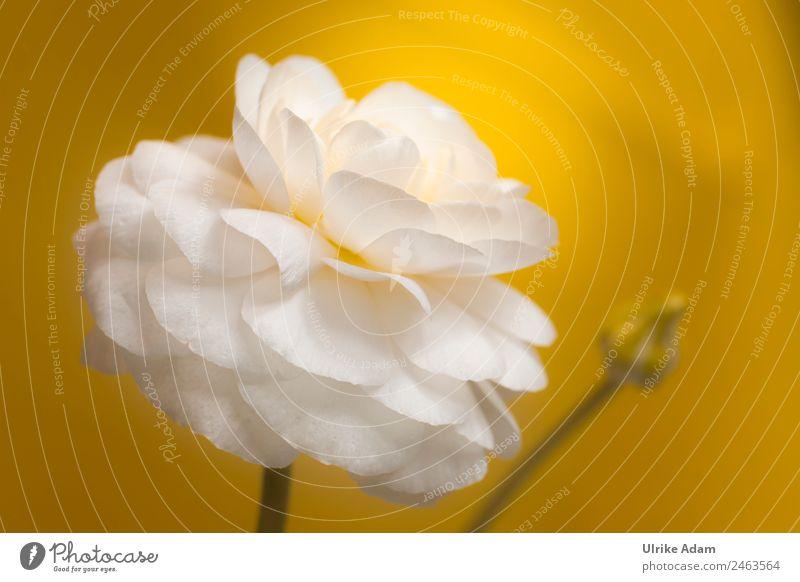 Weiße Ranunkel Natur Sommer Pflanze schön weiß Blume Erholung ruhig Leben gelb Frühling Blüte außergewöhnlich Feste & Feiern Design leuchten