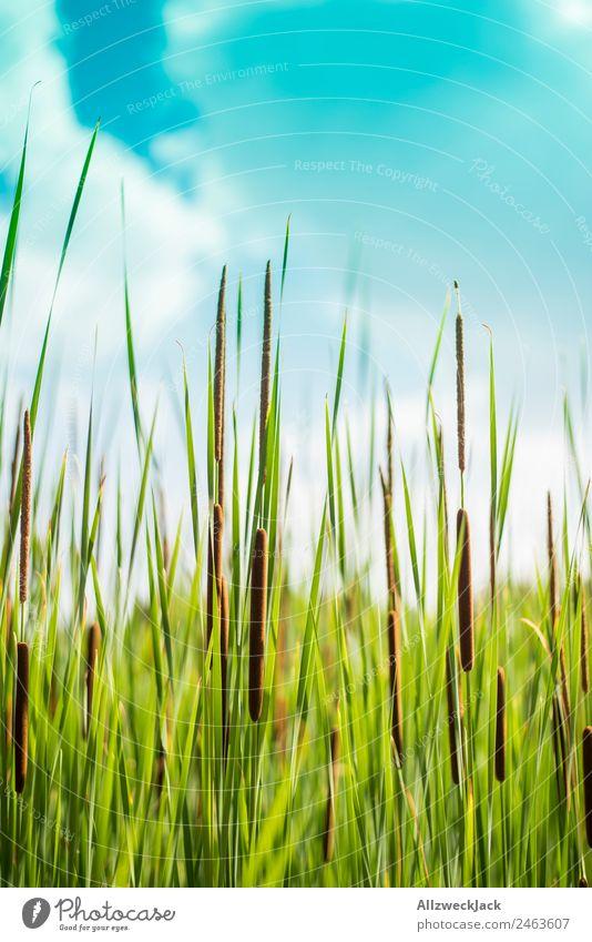 Nahaufnahme von Schilfrohr am Seeufer Natur Sommer Pflanze grün Erholung Tier ruhig Schönes Wetter Frieden Stillleben Blauer Himmel