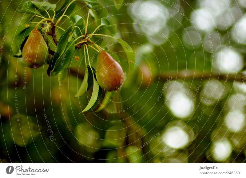 Birnen Lebensmittel Frucht Ernährung Vegetarische Ernährung Umwelt Natur Landschaft Pflanze Sommer Baum Birnbaum Garten hängen Wachstum Gesundheit lecker
