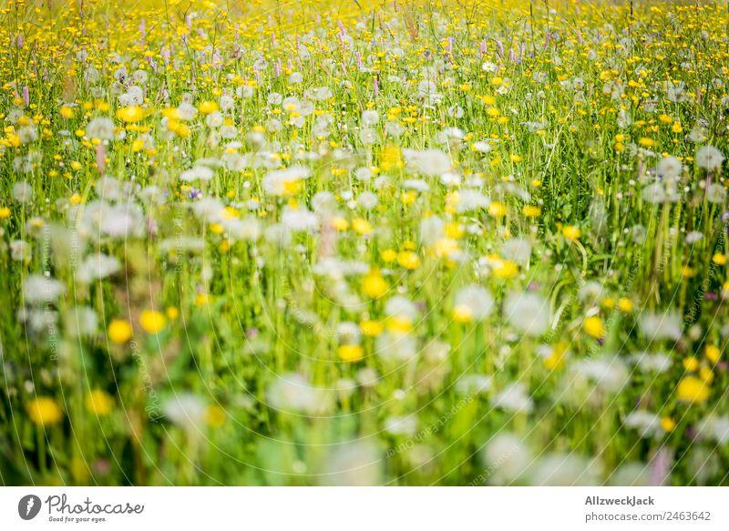 blühende Alpenwiese im Sommer schönes Wetter Natur Flora Blumen Gräser Wiese grün Pusteblumen saftig Alm gelb Detailaufnahme menschenleer
