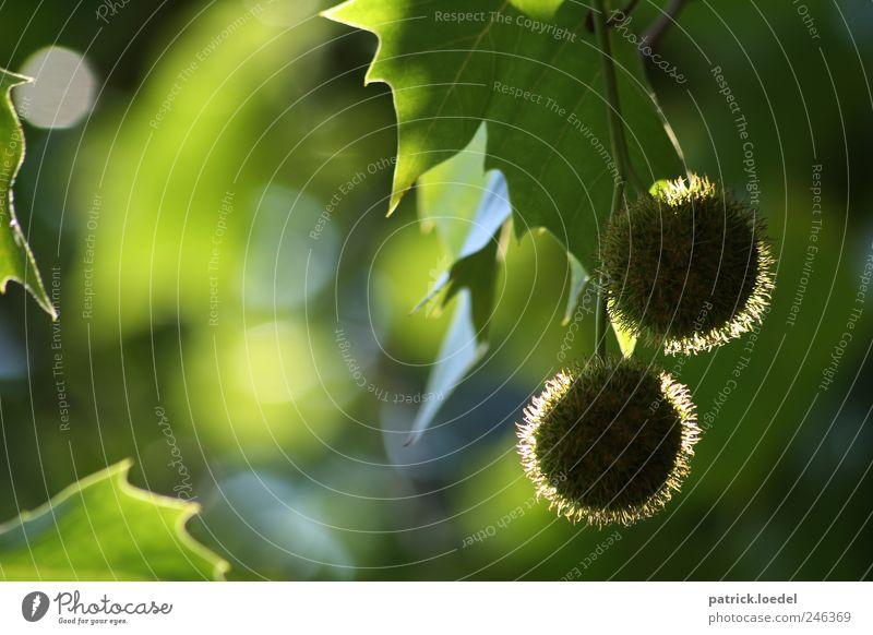 Two Hearts Beat As One Natur grün Pflanze Blatt Umwelt natürlich Symbole & Metaphern hängen Frucht Zweig Grünpflanze Kastanie Kastanienbaum Hülsenfrüchtler