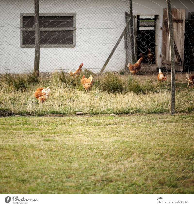 hühnerhof Natur weiß grün Haus Tier Wiese Fenster Gras Gebäude braun Vogel Tür Fassade natürlich Tiergruppe Landwirtschaft
