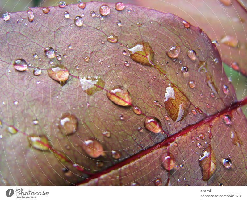 Taufrisch Natur Wasser Pflanze Blatt glänzend nass Wassertropfen natürlich Blattadern