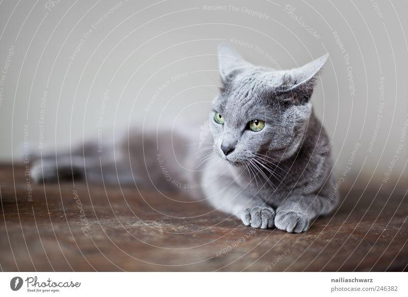Katze Tier Haustier Russisch Blau Reinrassig 1 liegen ästhetisch elegant braun grau silber Erholung blau Farbfoto Gedeckte Farben Innenaufnahme Studioaufnahme
