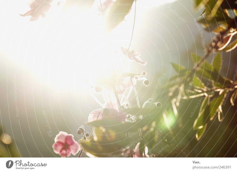 der Sonne entgegen Natur grün schön Pflanze Sommer Blume Ferien & Urlaub & Reisen Blatt ruhig gelb Blüte Garten Umwelt Wärme hell