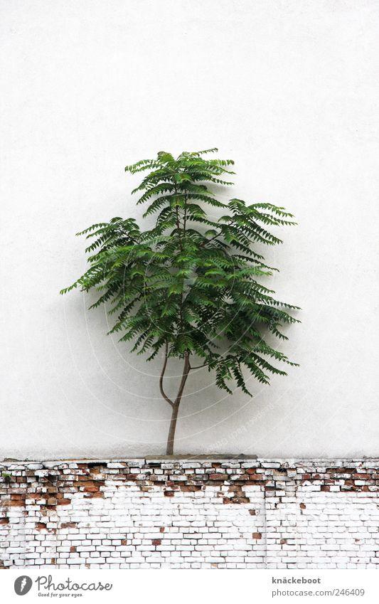 mauerblümchen Natur Baum Pflanze Sommer Wand Mauer skurril Surrealismus Wildpflanze