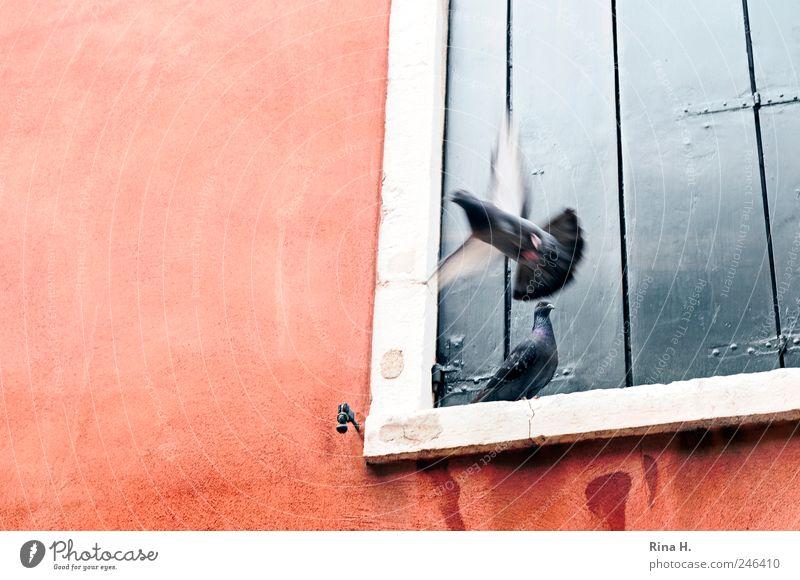 Adieu Mauer Wand Fenster Tier Taube 2 fliegen sitzen Einsamkeit Abschied gehen Farbfoto Außenaufnahme Menschenleer Sonnenlicht Bewegungsunschärfe