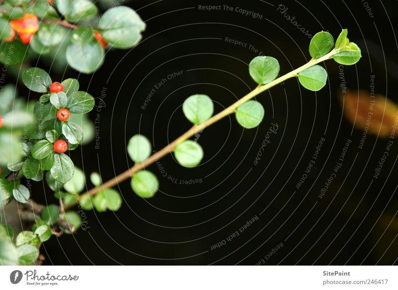 Cotoneaster Garten Natur Pflanze Blatt Grünpflanze Wildpflanze Teich ruhig Beeren Frucht Zweig diagonal Farbfoto Nahaufnahme