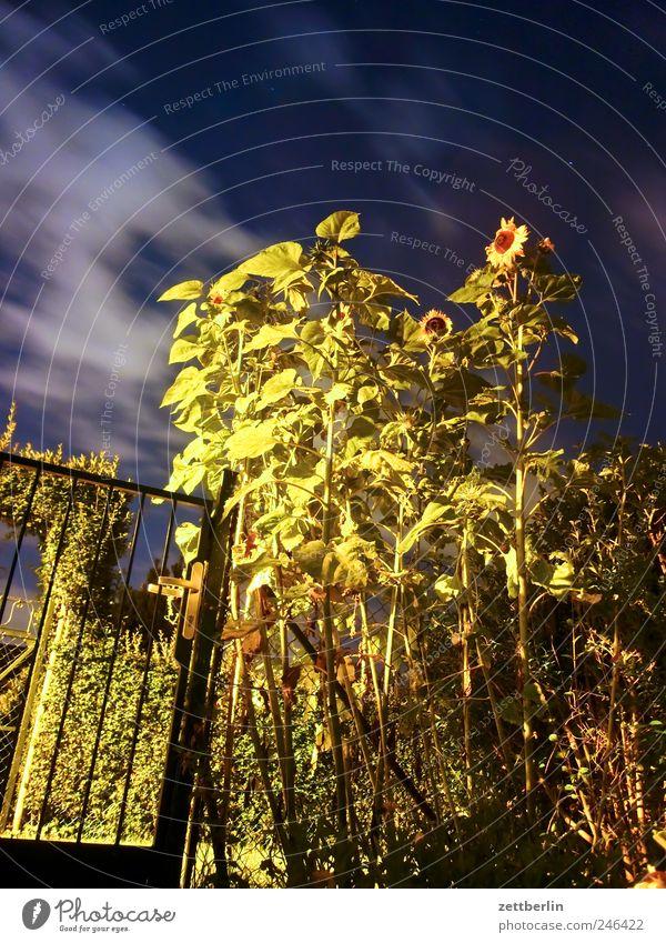 Mondblumen Natur Pflanze Sommer Blume Wolken Landschaft Umwelt Garten Blüte Traurigkeit Wetter Wind Freizeit & Hobby Frucht Klima gut