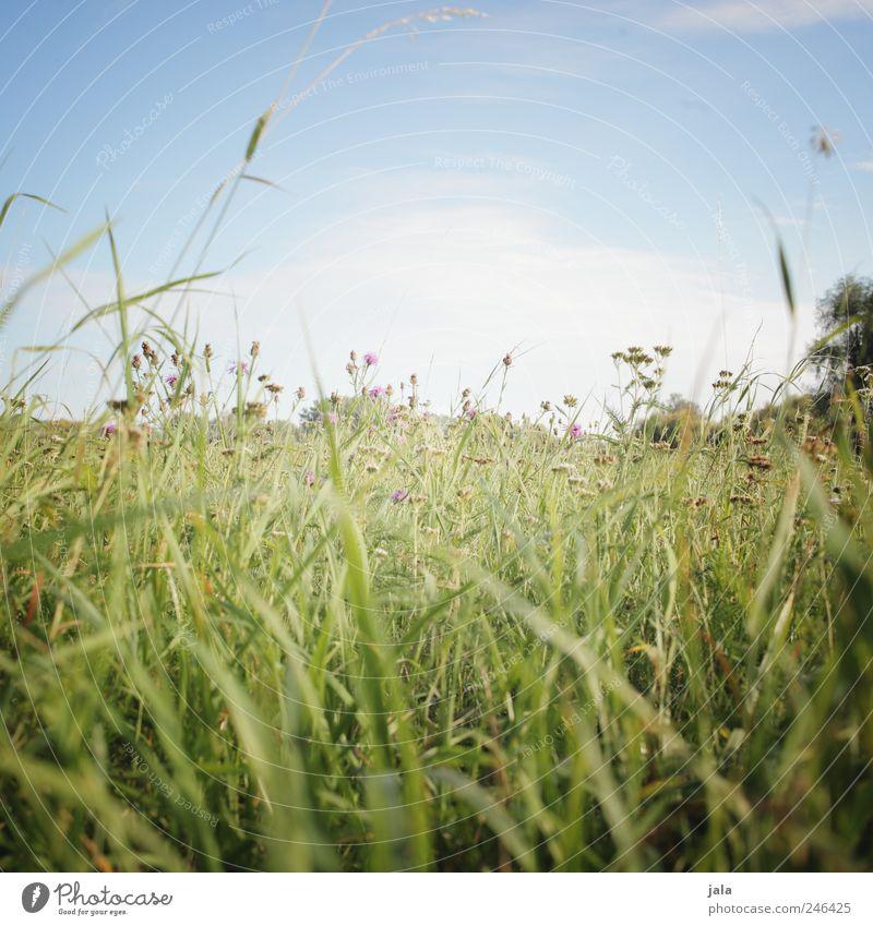 wiese Himmel Natur grün blau Pflanze Blume Wiese Gras Landschaft Umwelt wild natürlich Grünpflanze Wildpflanze
