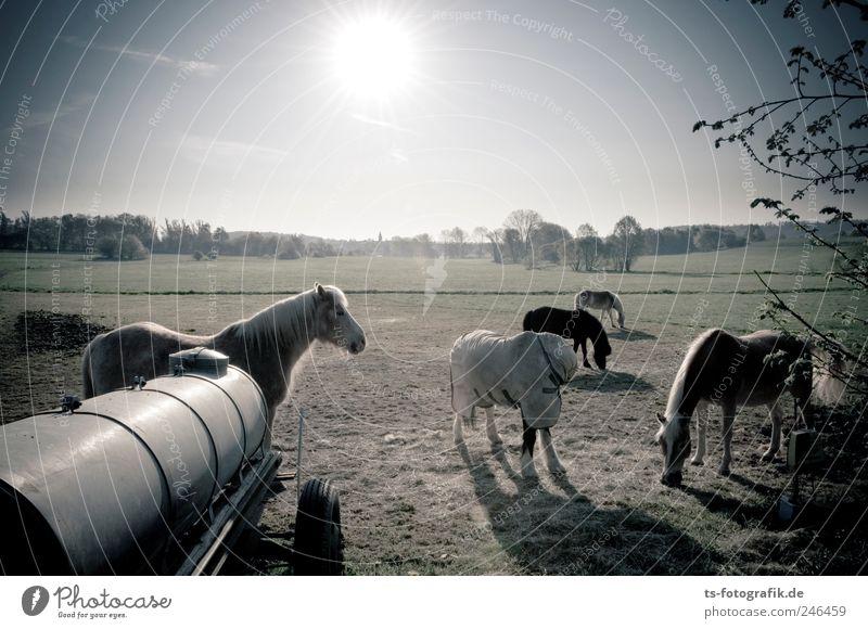 Wo sind all die Cowboys hin? grün Sonne Sommer Tier Frühling Sand hell braun Feld Horizont Pferd Tiergruppe Weide Schönes Wetter Herde Wolkenloser Himmel